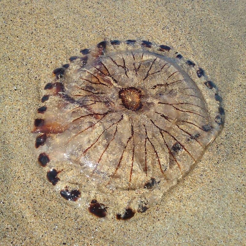 Méduses se reposant sur une plage photographie stock