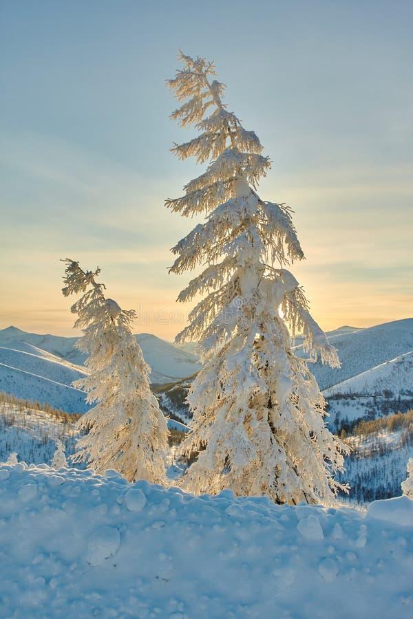 Mélèze dans la neige en montagnes L'hiver Un déclin soirée kolyma image libre de droits