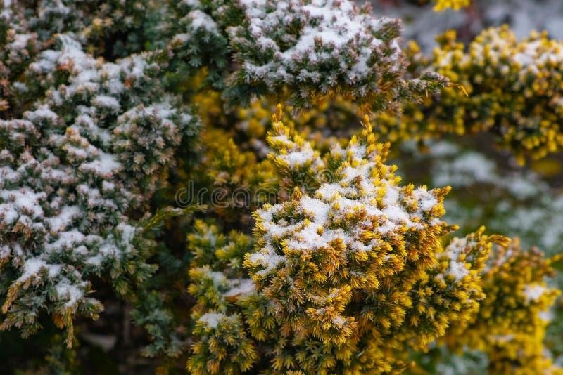 Mélèze dans le plan rapproché de neige Hiver soudain dans les sud images libres de droits