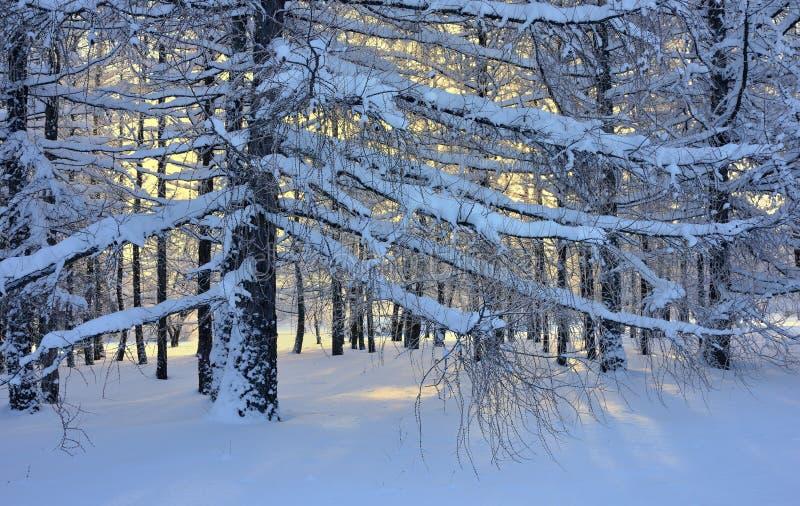 Mélèze en hiver photos libres de droits