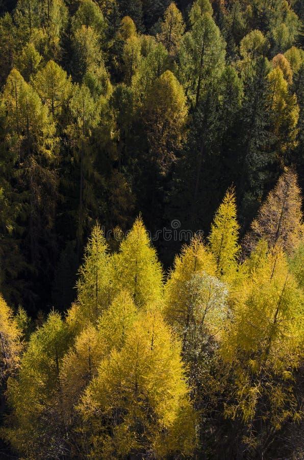 Mélèze jaune dans les dolomites photo libre de droits