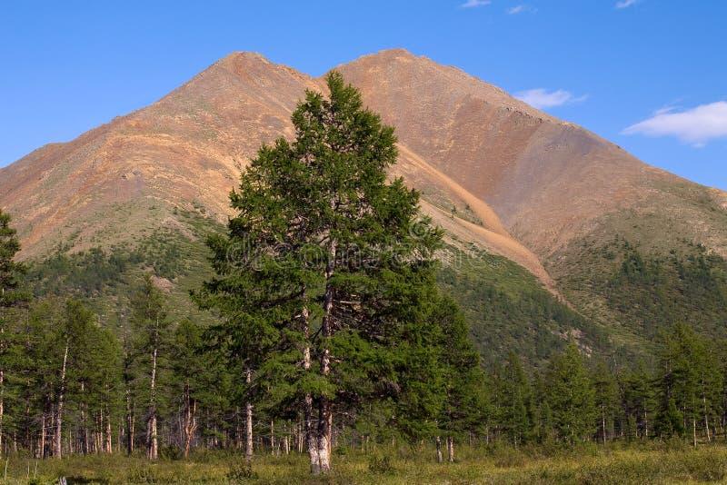 Mélèze sur un fond des montagnes avec un double dessus photo stock