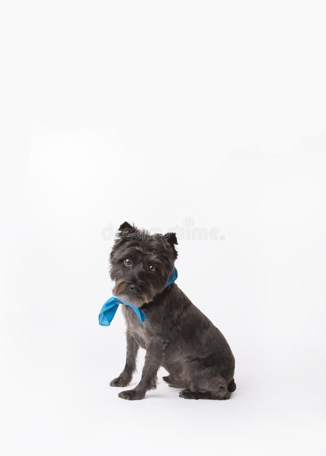 M?lange de Terrier sur le livre blanc sans couture regardant la cam?ra tout en se reposant avec un bandana bleu images stock