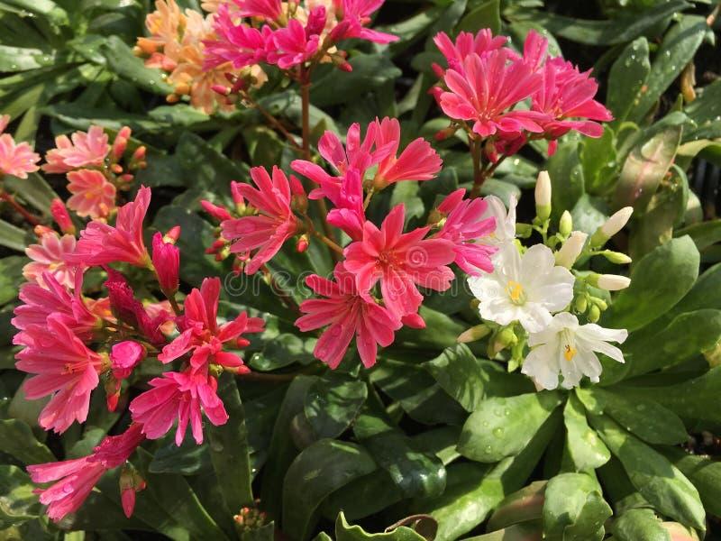 Mélange des fleurs de Lewisia image libre de droits