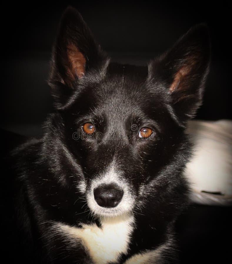 Mélange enroué de chien de berger écossais de Bordercollie photographie stock libre de droits