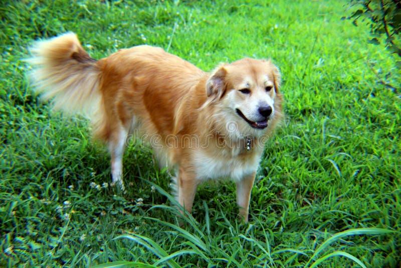 Mélange orange de Colley-Terrier photographie stock