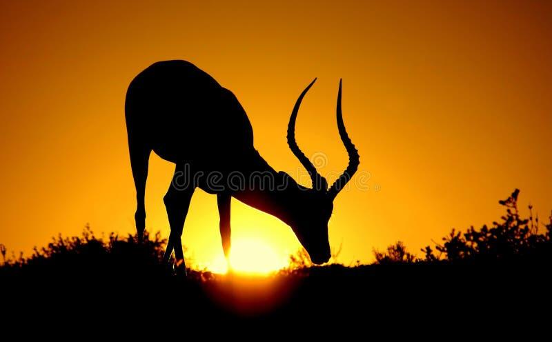 Mémoire vive d'Impala contre les cieux africains image libre de droits