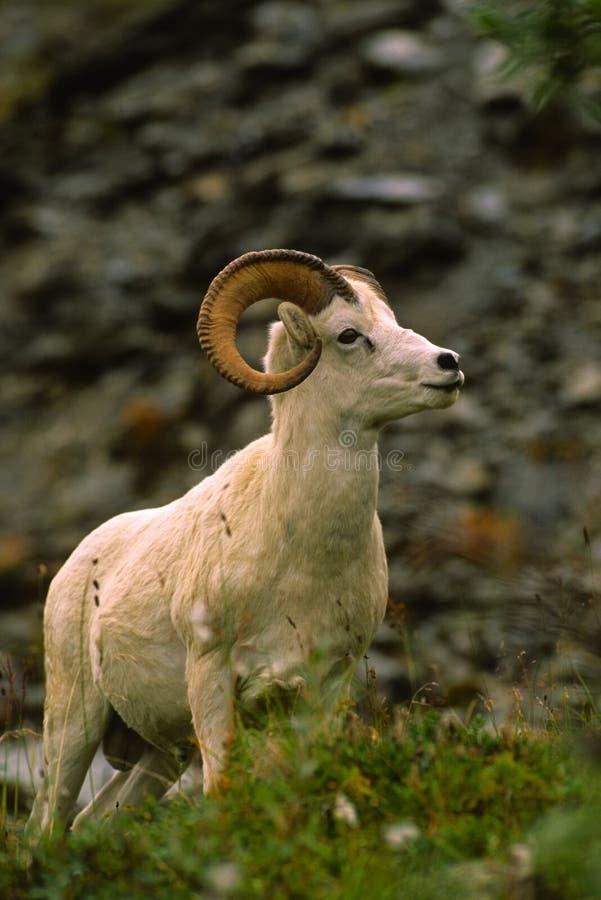 Mémoire vive de moutons de Dall photos stock