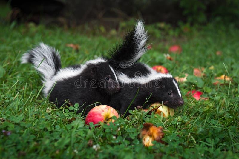 Méphite à la peau striée et pommes de l'été images libres de droits