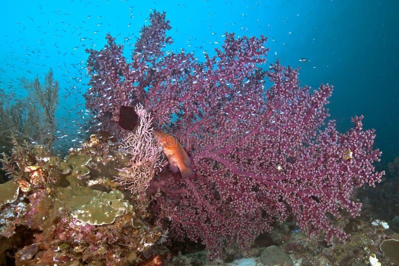 mérou Bleu-repéré dans grand seafan pourpre photo stock