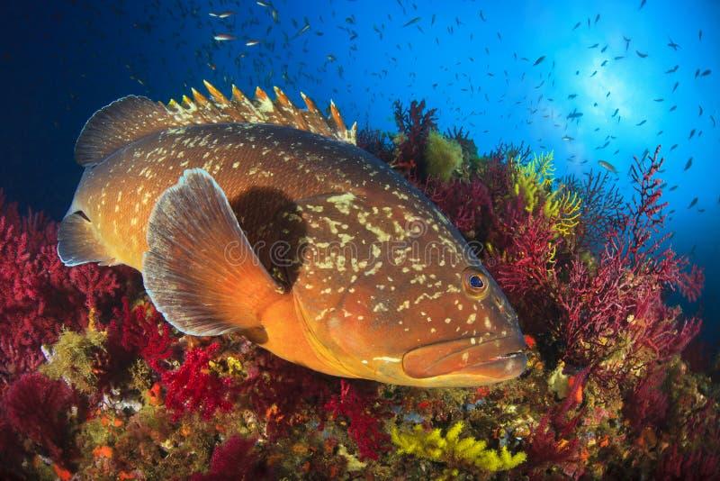 Mérou d'îles de Medes photos stock