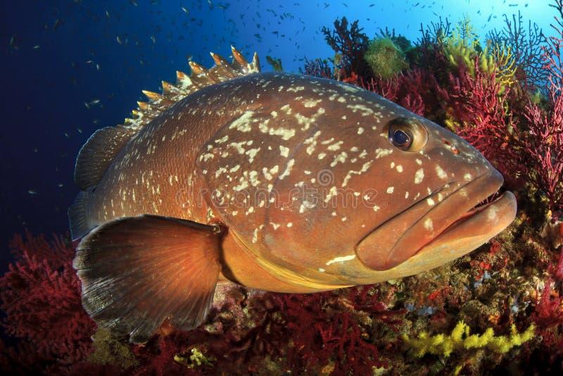 Mérou d'îles de Medes image stock
