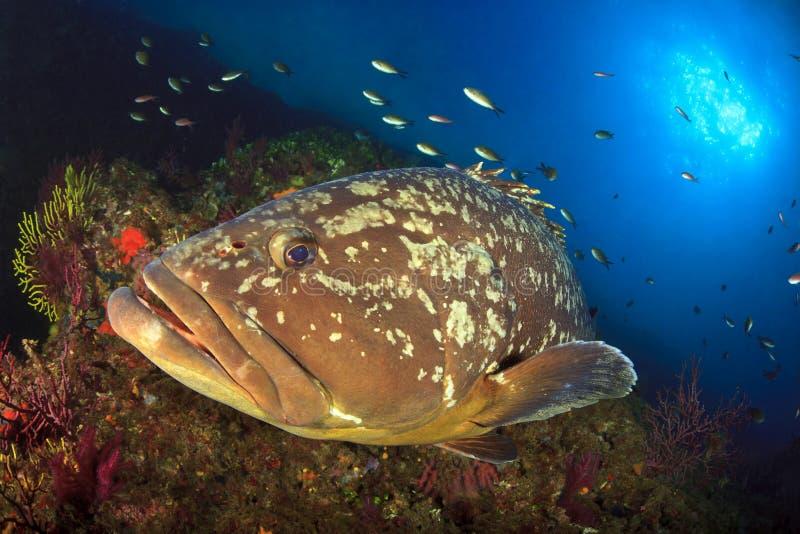 Mérou d'îles de Medes images libres de droits