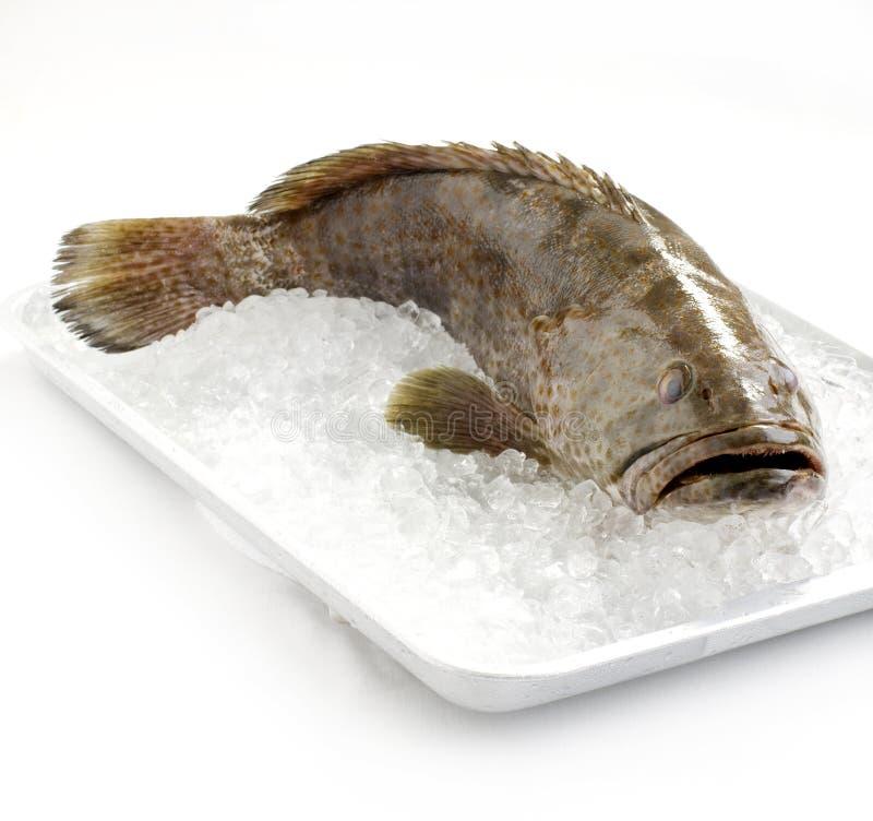 Mérou frais sur la glace photo stock