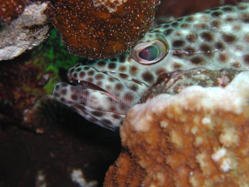 Mérou Graisseux 2 Image stock