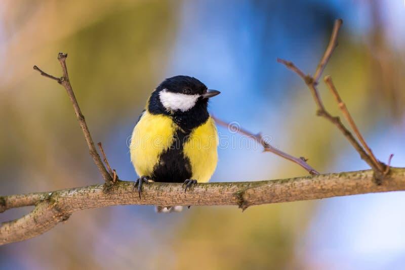 Mésange bleue étée perché sur une branche photographie stock libre de droits