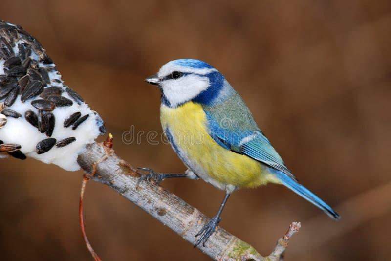 mésange bleue photos stock