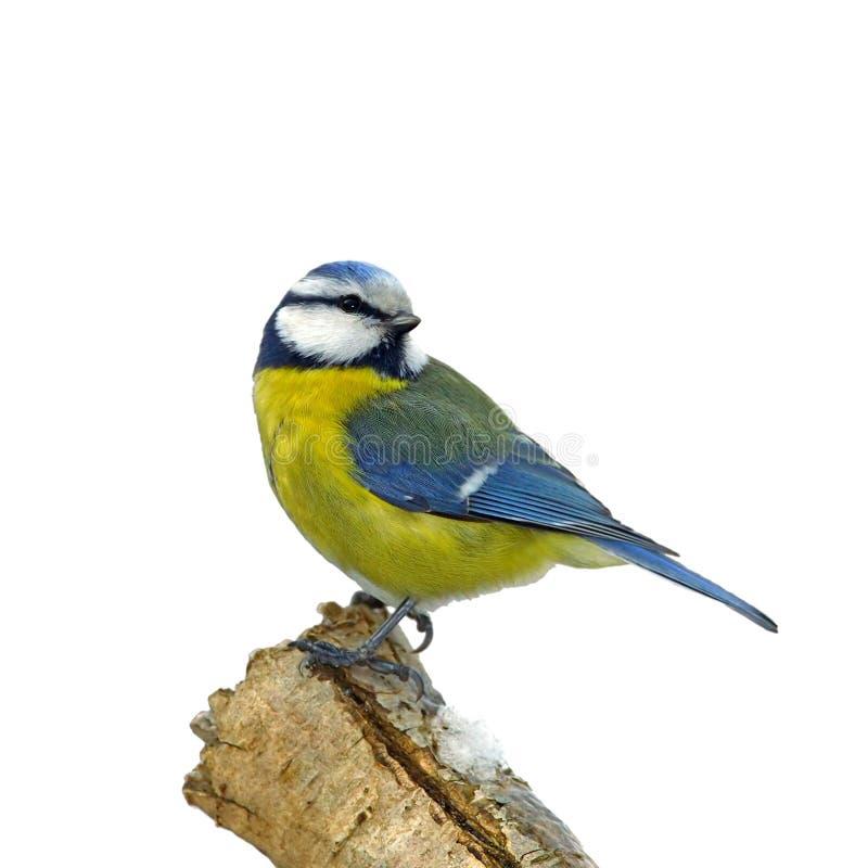 Mésange bleue sur le branchement neigeux illustration stock