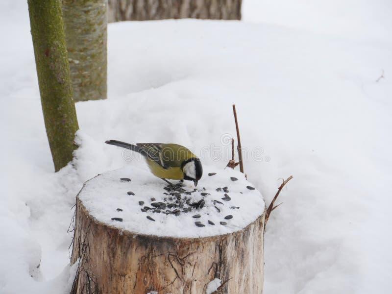 Mésange d'oiseau en hiver photo stock
