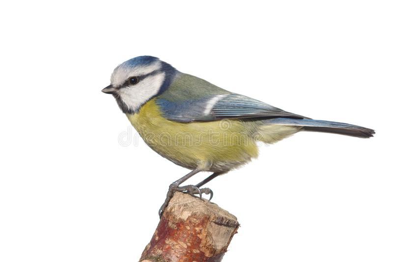 Mésange d'oiseau sur la branche images libres de droits