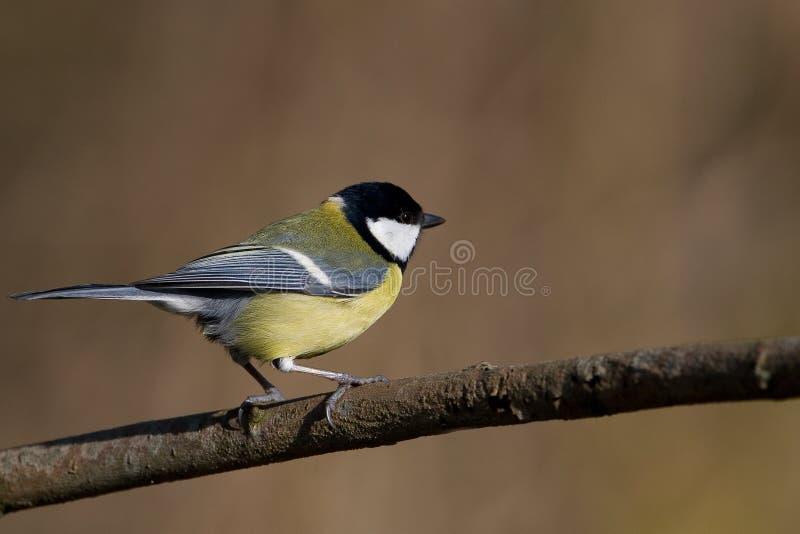 Download Mésange grande image stock. Image du mâle, débutant, oiseau - 8650979
