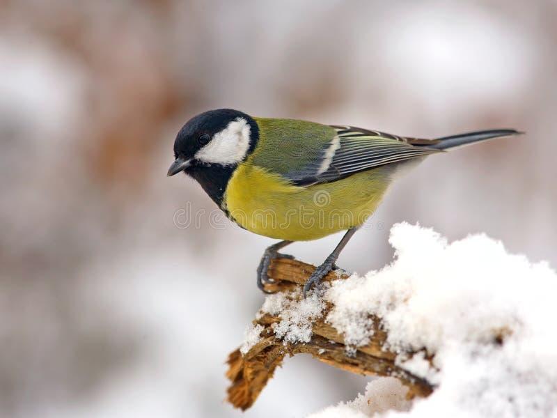 Mésange grande dans la neige photos libres de droits