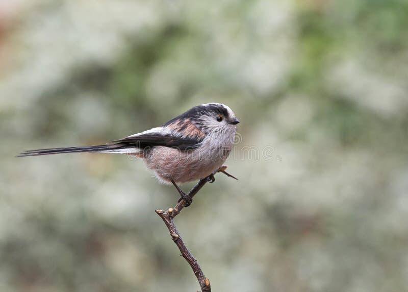 Mésange Long-tailed photographie stock
