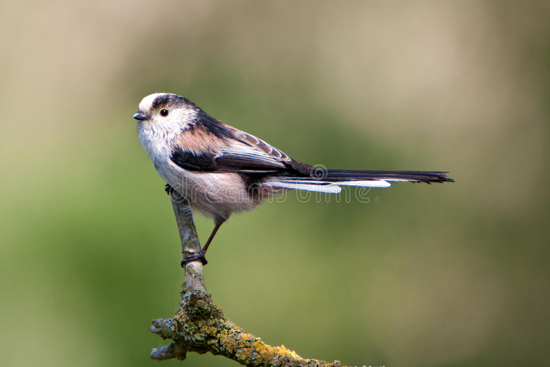 Mésange Long-tailed photo libre de droits