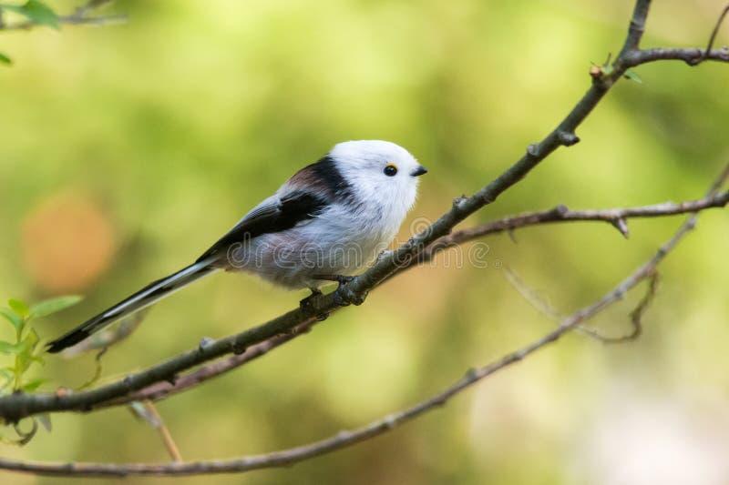 Mésange Long-tailed photos libres de droits