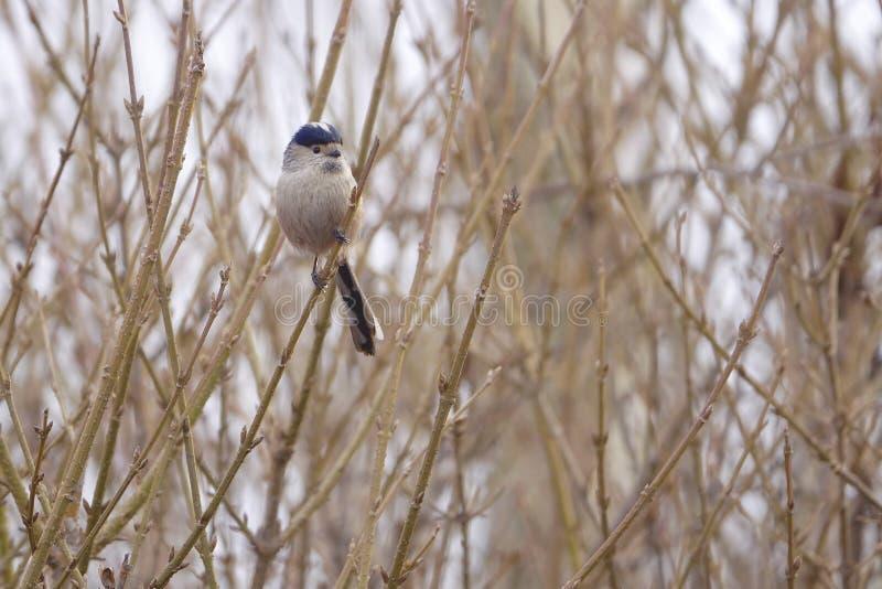 Mésange Long-tailed images libres de droits