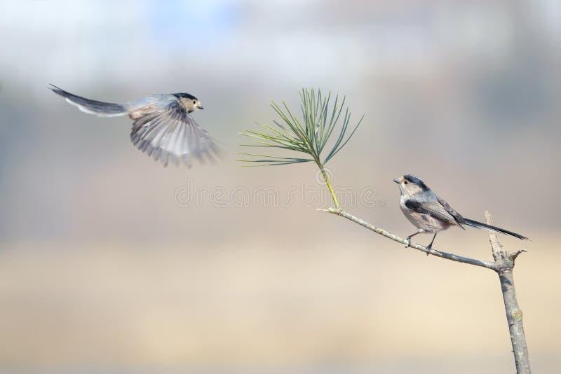 Mésange Long-tailed image libre de droits