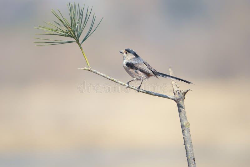 Mésange Long-tailed photo stock