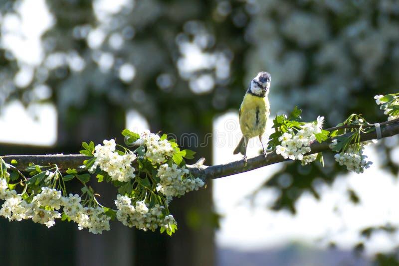 Mésanges bleues eurasiennes, oiseaux habituels et non migratoires, images libres de droits