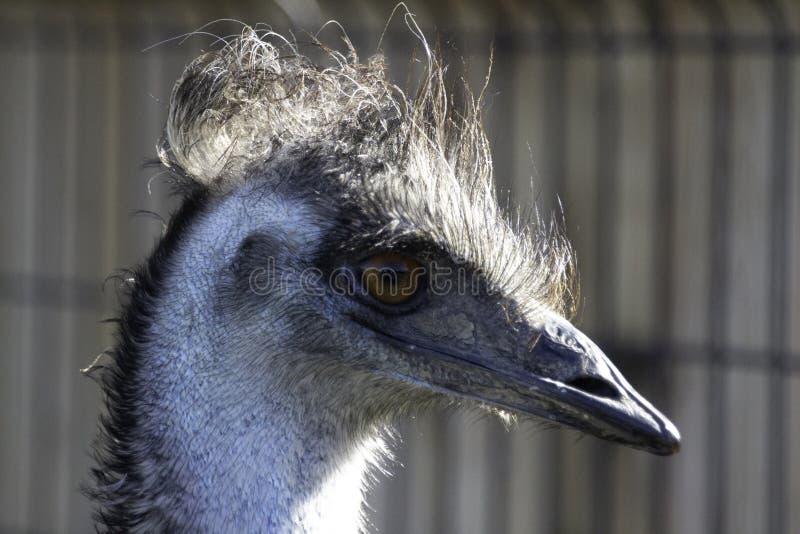 Même les émeus ont de mauvais jours de cheveux photo stock