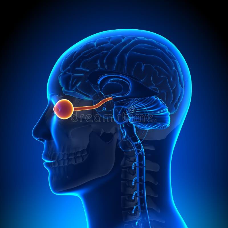 Móżdżkowa anatomia Okulistyczny nerw, oko -/ ilustracja wektor