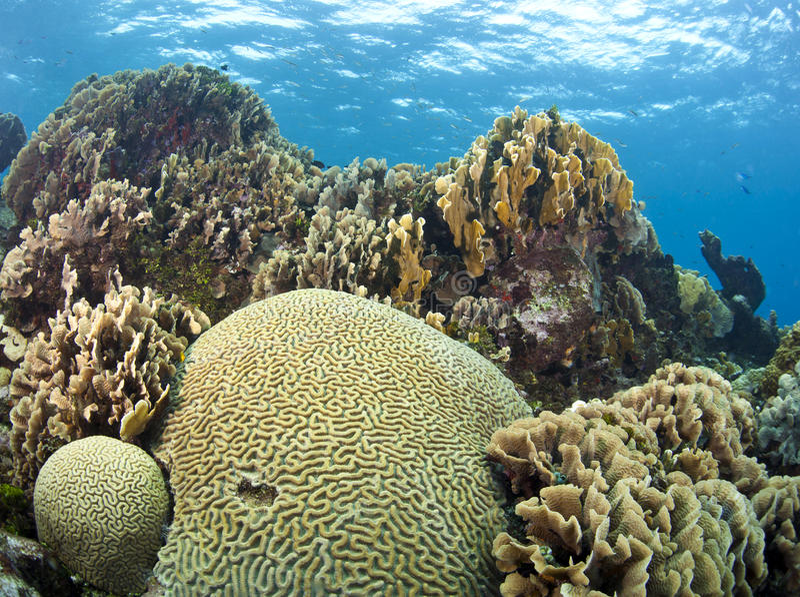 móżdżkowego korala ogródy zdjęcie royalty free