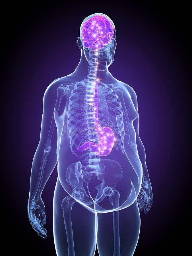 móżdżkowy podłączeniowy żołądek royalty ilustracja