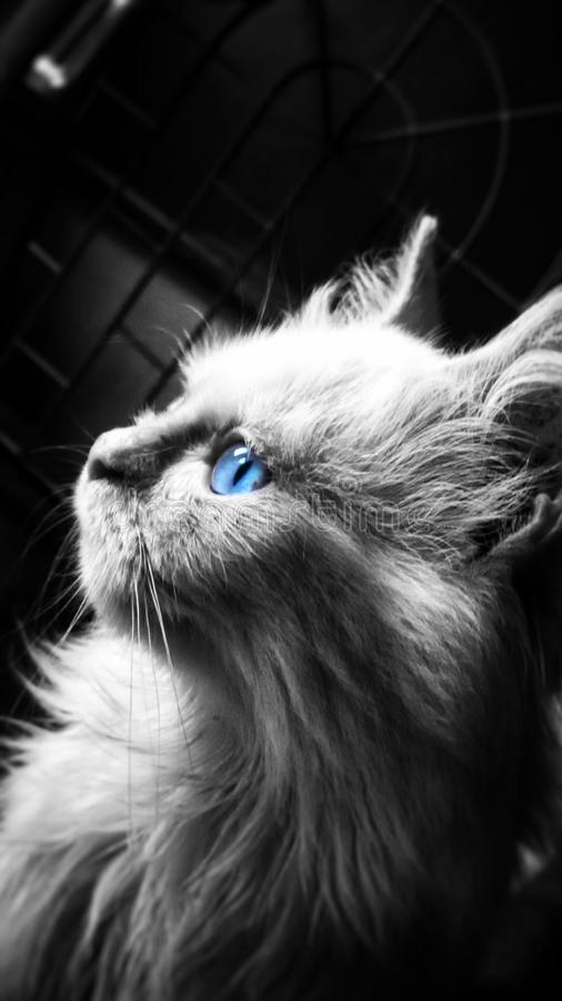 Mój biali perskiego kota withblue oczy Właśnie doskonalić dla kamery i myśleć jej znam to zbyt obraz stock