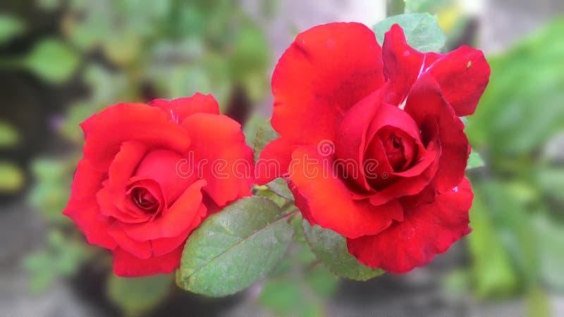Mój czerwone róże fotografia stock
