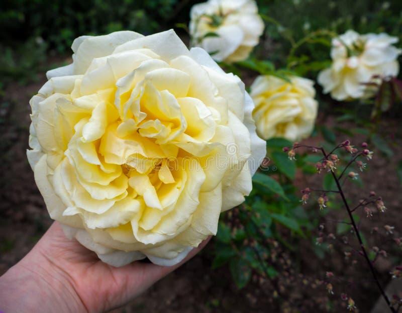 Mój dziewczyny Rosa herbaty Fragrant Hybrydowej róży biały z kości słoniowej kwiat obrazy stock