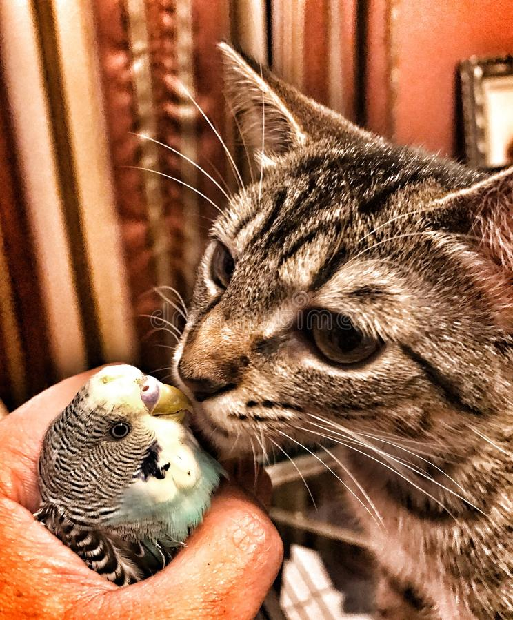Mój kot całuje mój ptaka fotografia royalty free