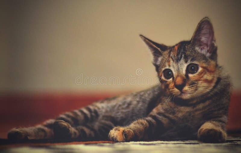 Mój mały zwierzę domowe kot zdjęcia stock