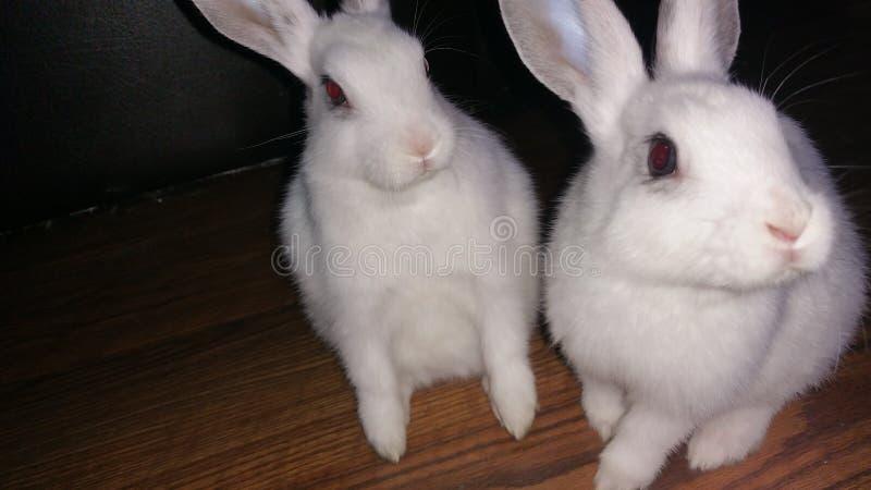 mój potów króliki fotografia stock