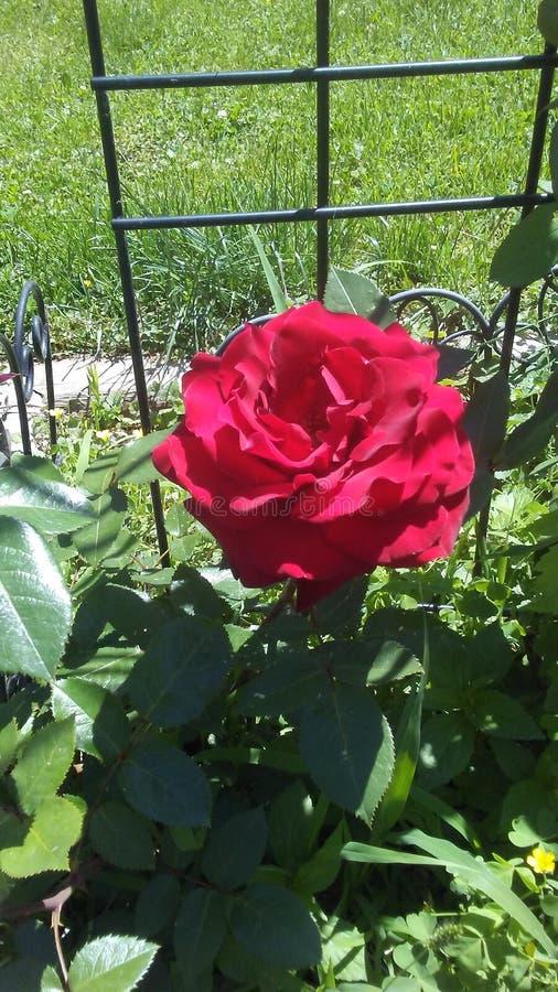 Mój róże obraz royalty free