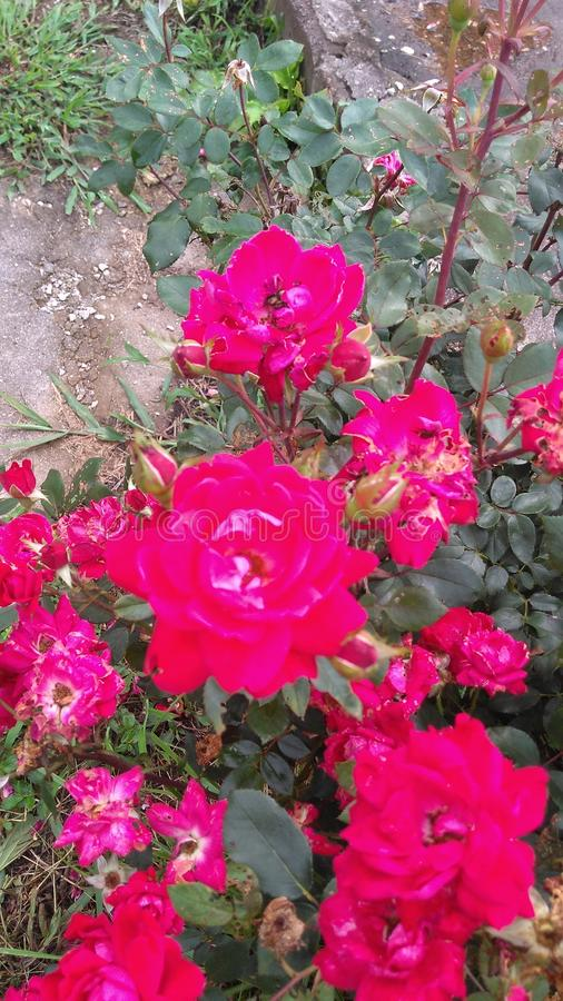 Mój róże obrazy royalty free