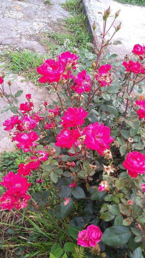 Mój róże zdjęcie stock