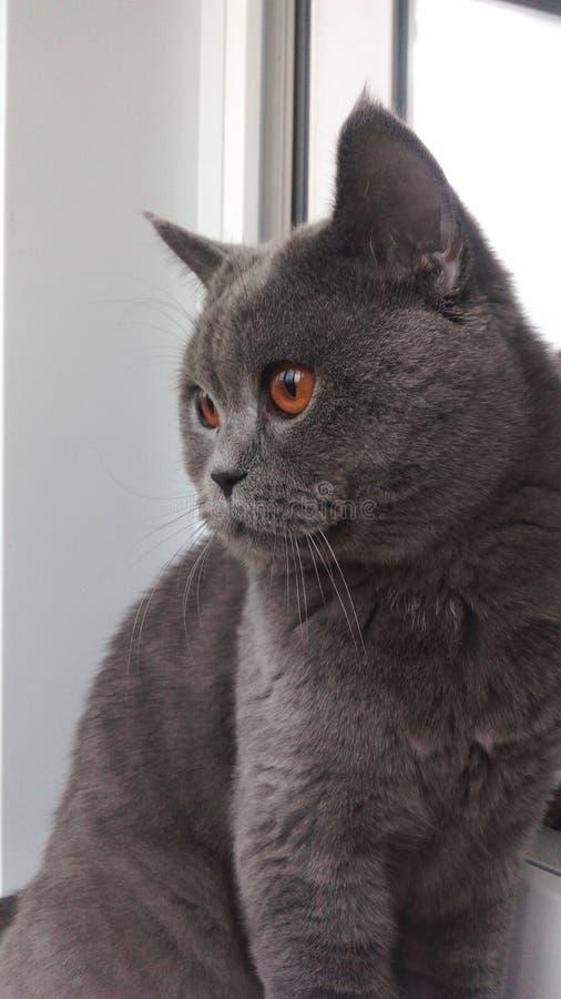 Mój uroczy brytyjski kot zdjęcia royalty free