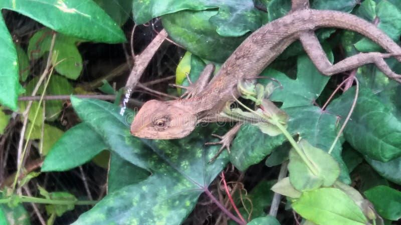 Móvil de la mañana de la fotografía de Assam del lagarto foto de archivo libre de regalías