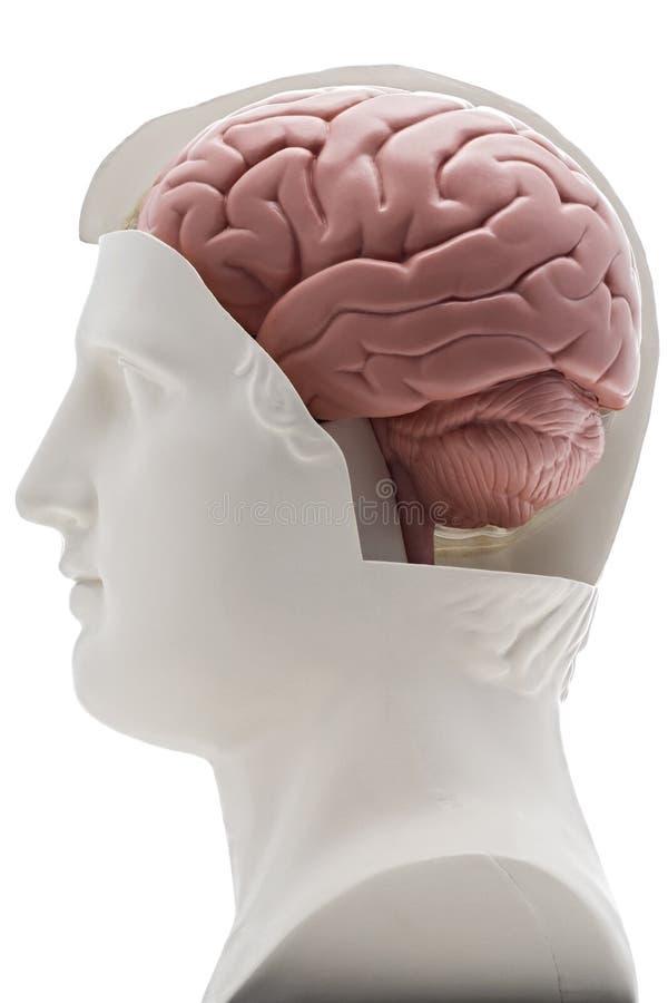 mózg zdjęcia royalty free