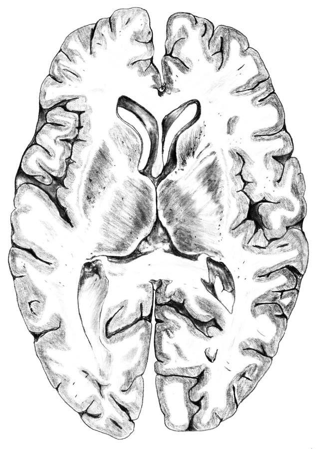 Mózg - Cerebralnego Cortex przekrój poprzeczny ilustracja wektor